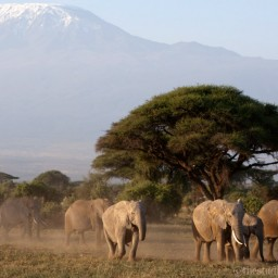 elephants in front of Mt. Kilimanjaro