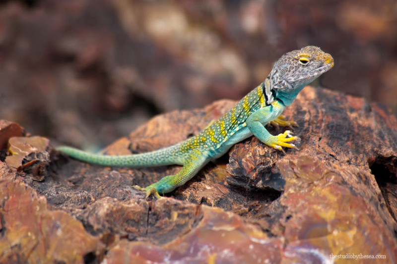 Eastern Collared Lizard Petrified Forest